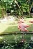Доминикана. Розовые фламинго в отеле