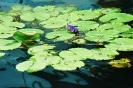 Лотосы на озере Хевиз